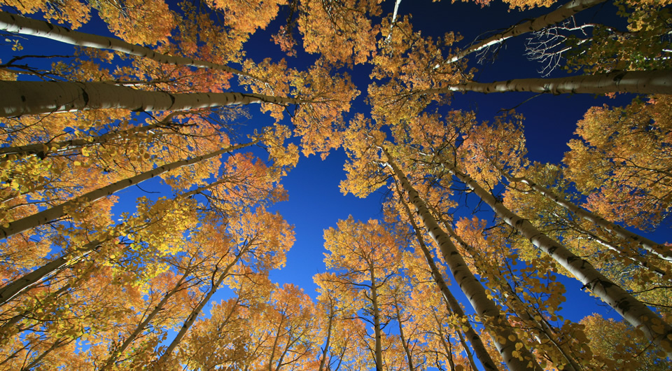 Aspen trees turn gold in Silverthorne